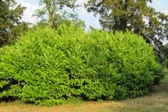 Prunus laurocerasus 1